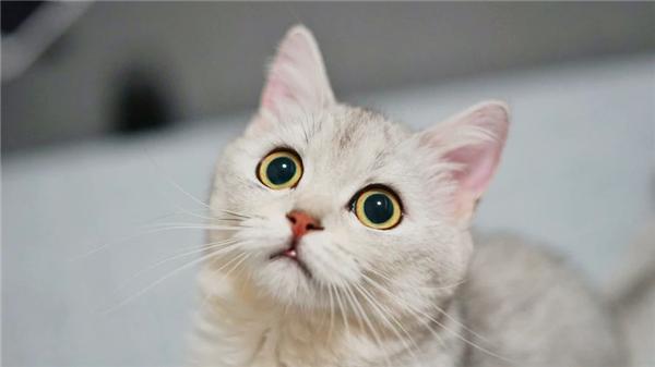 程序员2天做出猫咪情绪识别软件